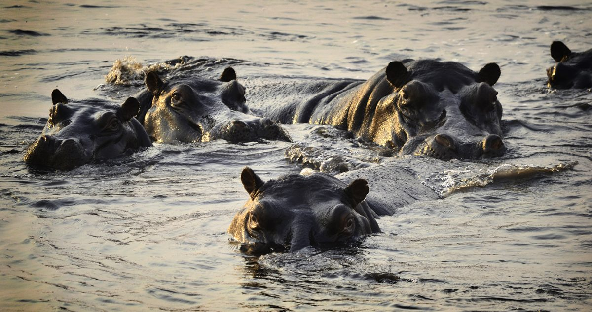 Hippo-family-glistening Chobe-small