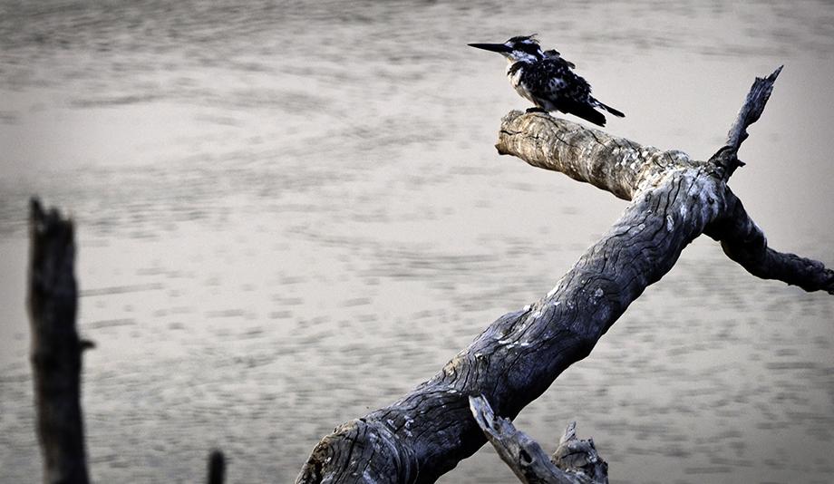 Pied Kingfisher Shakawesmall