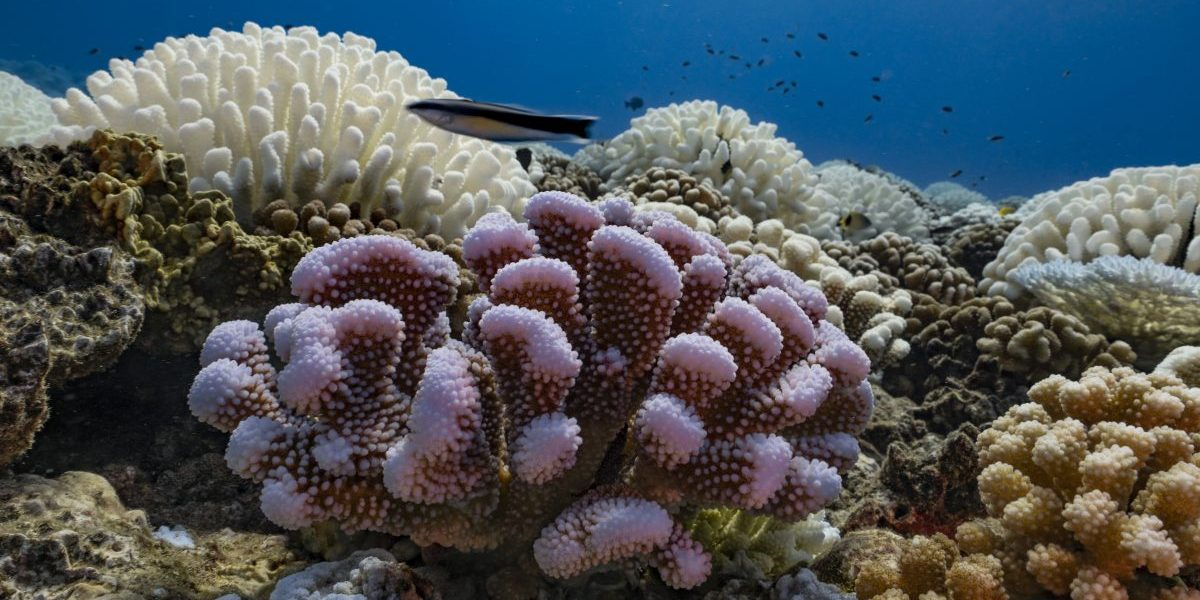 A view of major bleaching on the coral reefs of the Society Islands on May 9, 2019 in Moorea, French Polynesia. Image: Getty, Alexis Rosenfeld