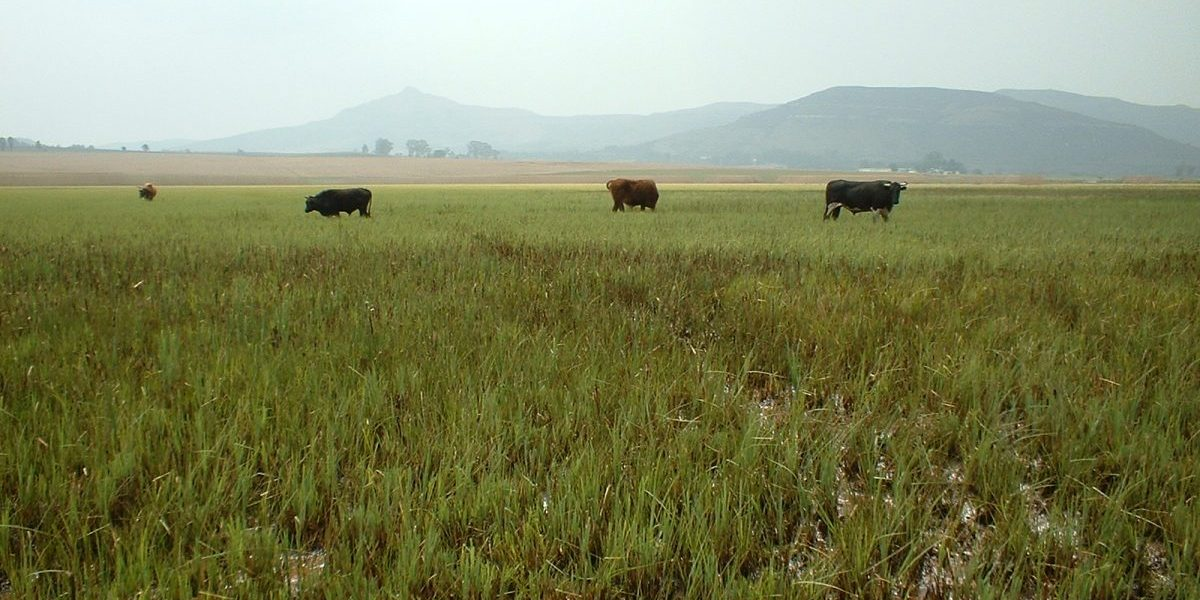 Wakkerstroom Vlei, where Working for Welands have undertaken wetland rehabilitation work. It represents a typical South African wetland utilized by livestock.