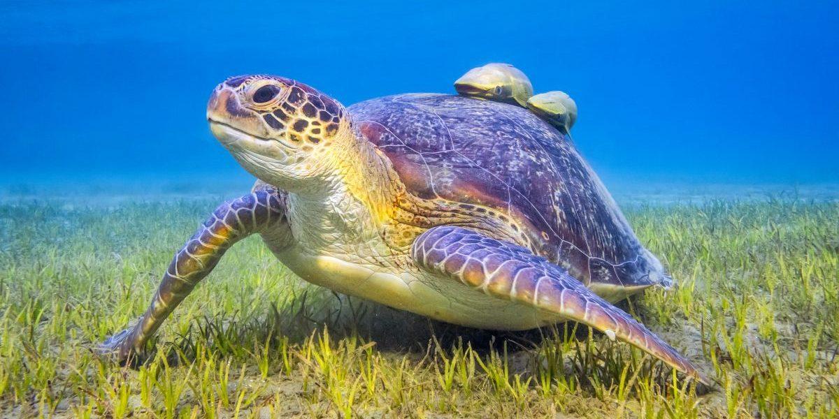 Green sea turtle near Marsa Alam, Egypt. Image: Getty, Cinoby