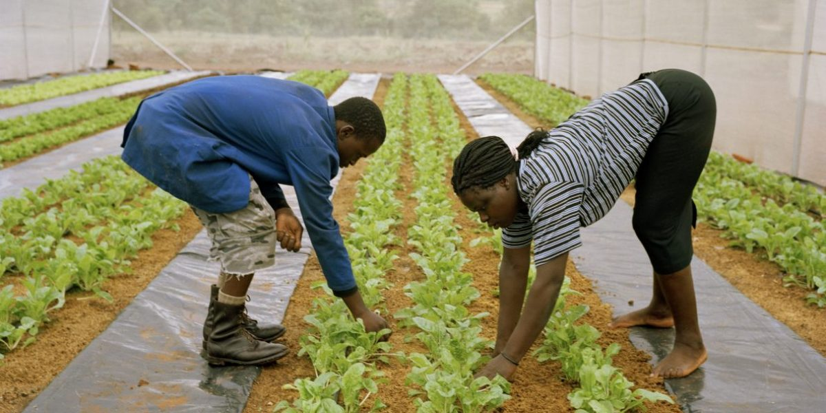 Richard Msengi and Gladys Mgakula work in one of the poly-tunnels of a hydroponic farming scheme in  the Makuleke Village which supplies fresh vegetables to lodges in the nearby Kruger National Park. Image: Getty, Gideon Mendel/Corbis
