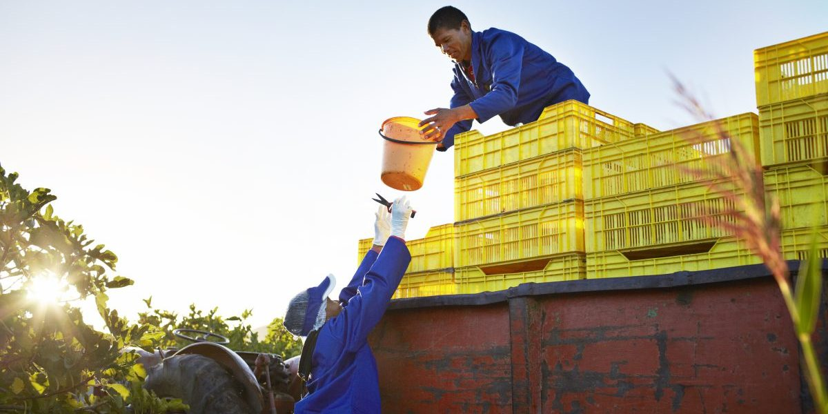 Workers loading fruit onto a trailer. Image: Getty, Klaus Vedfelt
