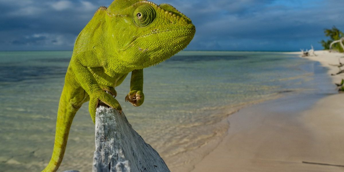 An amazing malagasy giant chameleon (Furcifer oustaleti) taking the pose on a beach in Nosy Ankao island, Madagascar. Image: Getty, Alexis Rosenfeld