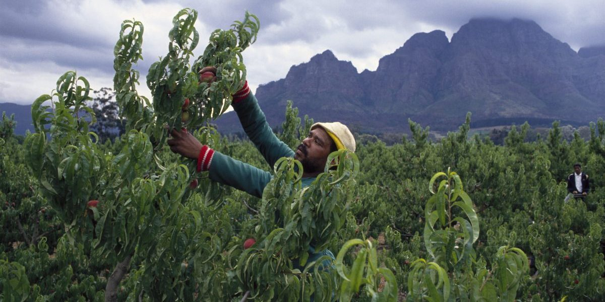 A fruit picker picks peaches for export on Boschendal Estate in Cape Town. Image: Getty, Gideon Mendel/Corbis