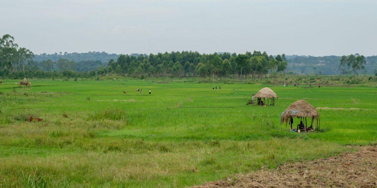 Uganda rice field, 2018. Image: Getty, Art In All of Us/Corbis